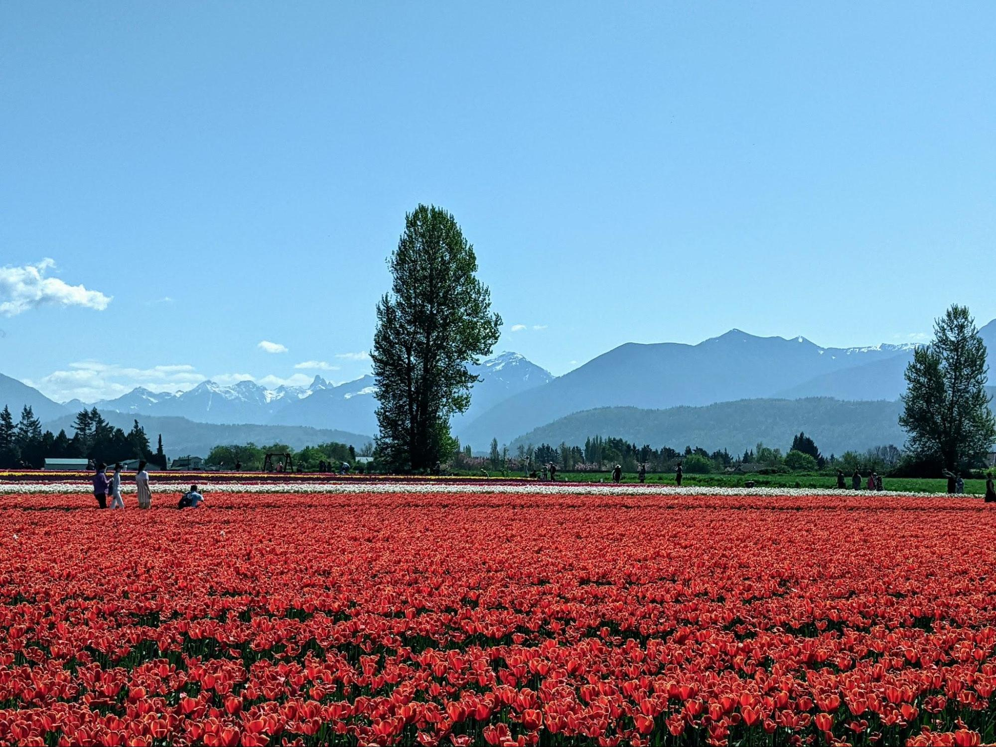 A field of red tulips at the Chilliwack tulip festival with Mt Cheam in the distance.