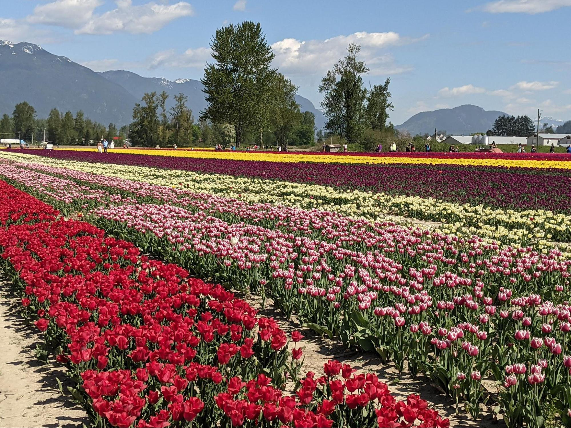 A large field of multi-colored tulips growing in rows at the Chilliwack tulips festival.